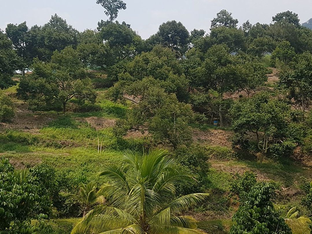 Durian and Guava Plantation Johor